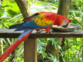 Macaw Parrot - Belize Zoo
