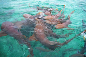 Feeding the Nurse Sharks at Shark Ray Alley